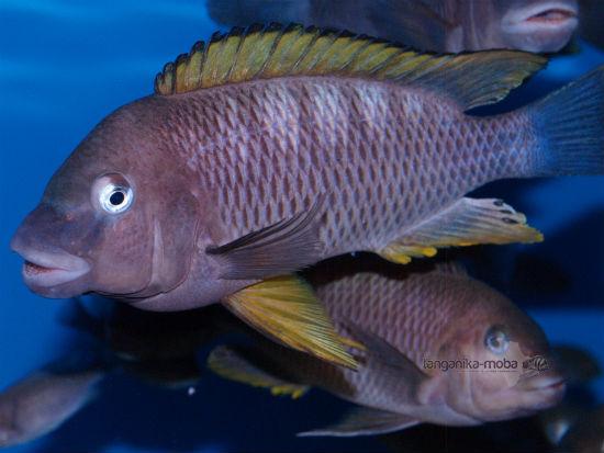 Petrochromis famula orange fin Kigoma