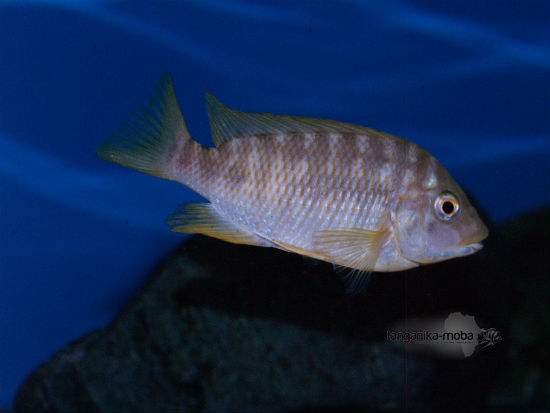 Petrochromis sp.orange kongo