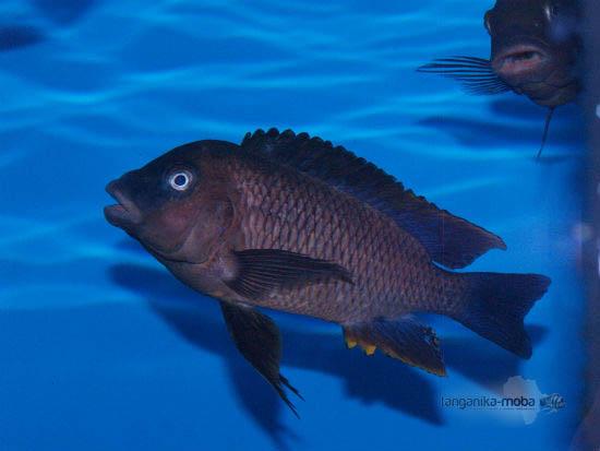 petrochromis famula blue bemba samec