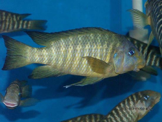 petrochromis macrognathus katumbi point samec