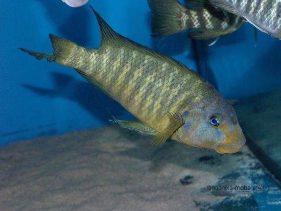 petrochromis macrognathus katumbi point usta
