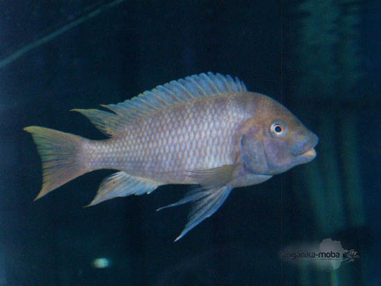 petrochromis flame tail sam