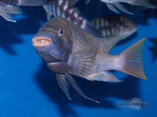 petrochromis flame tail usta