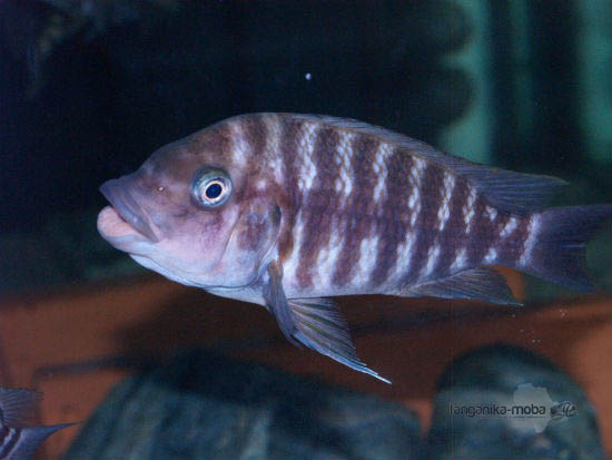 petrochromis flame tail samica