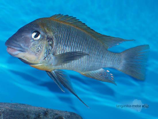 Petrochromis polyodon mtoto