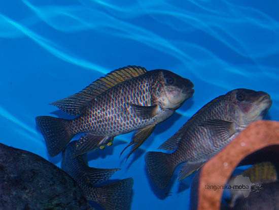 Akvárium s rybami - famula Sangala