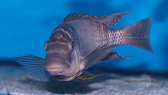 Petrochromis famula Sangala v plnej kráse
