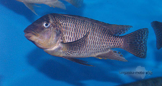 Petrochromis famula Sangala