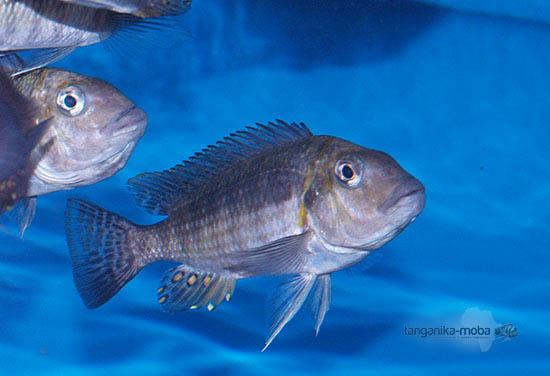 Petrochromis orthognathus tricolor