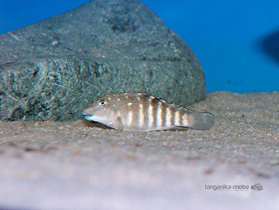 Tanganicodus irsacae Kavala