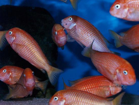 Tropheus caramba red bischop skupina