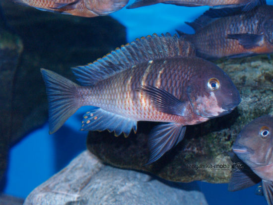 TROPHEUS RED BELLY