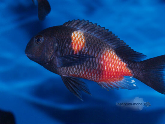 Tropheus sp. Black Bulu Point WF