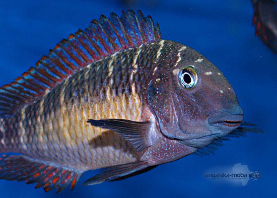 Detailný pohľad na rybu Tropheus red rainbow Kasanga