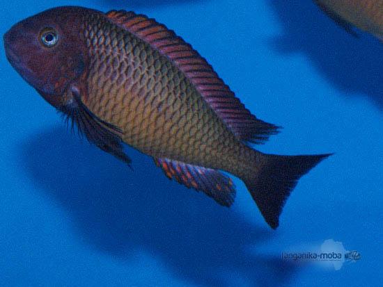 Teritoriálna ryba Tropheus ilangi