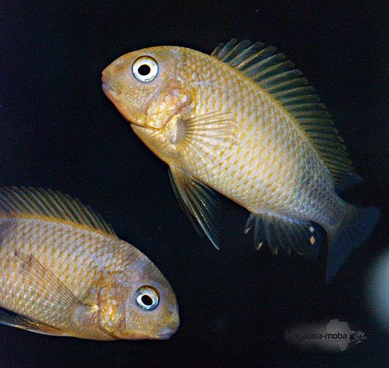Zlatisto sfarbená ryba Tropheus Kiriza gold