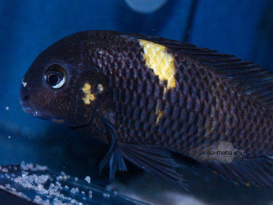"Tropheus Sp. Black ""lueba"""