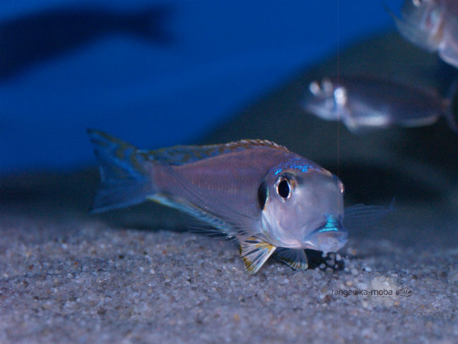 Xenotilapia Bathyphilus Burundi