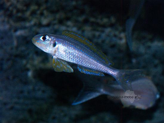 Xenotilapia flavipinnis nyanza lac