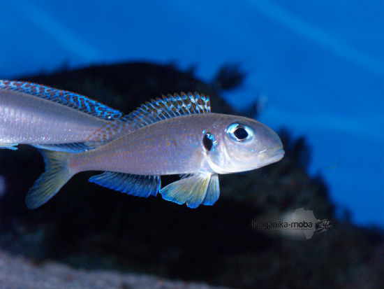 Xenotilapia flavipinnis RED ROYAL KEKESE